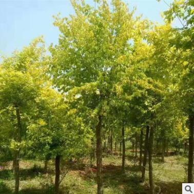 基地直销绿化苗木 金叶榆 园林 行道树 工程乔木 苗木耐寒耐旱
