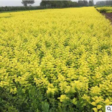绿化苗木 金叶女贞工程苗 金叶女贞球 道路色块组成图 黄叶常绿