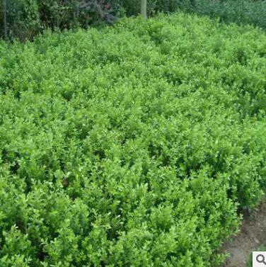 基地批发小叶黄杨苗绿化工程苗圃小苗大小黄杨球瓜子黄杨冬青