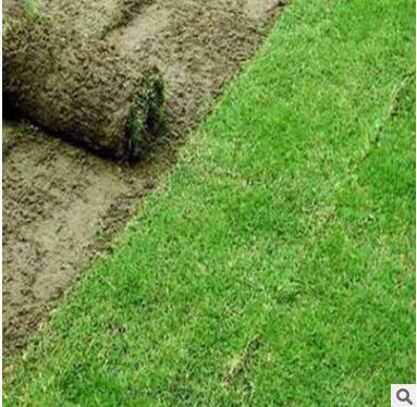 草皮带泥真草坪批发马尼拉 百慕大果岭草四季青工程绿化耐寒耐踏