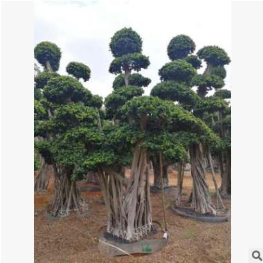 福建造型小叶榕小叶榕桩头造型榕树桩榕树桩景榕树盆景小叶榕树桩