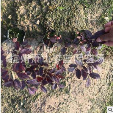 红花继木 小杯苗 土球好 根系旺 成活率高 园林 绿化 工程 用苗