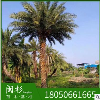 福建漳州中东海枣基地供应批发 银海枣 海枣树 行道树 量大从优