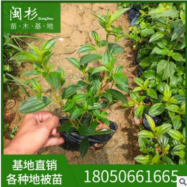 现货特卖 巴西野牡丹 绿植批发 厂家直销行道庭院园林景观绿化