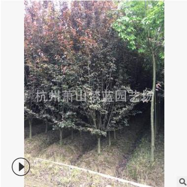 红叶李  低分支点 优质苗 根系旺 绿化工程 萧山苗木