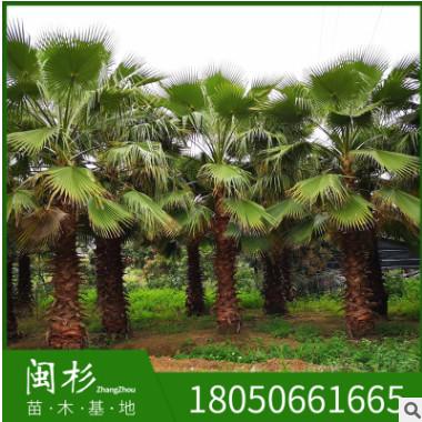 福建老人葵基地苗木批量供应 园林绿化华盛顿葵棕榈种植华棕