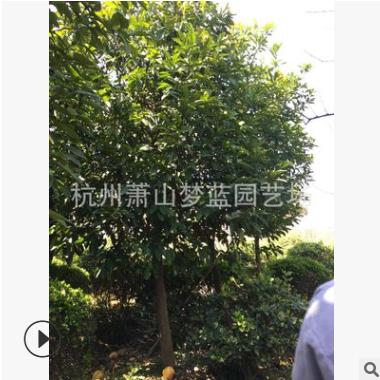 香泡 乔木 树木 园林 根系旺 树形优美 规格 齐全