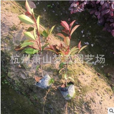 红叶石楠小杯  绿化苗木 灌木 地被 规格齐全 庭院 工程
