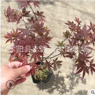 厂家批发红枫小苗 盆景红枫 工程红枫苗 四季红红枫 量大从优