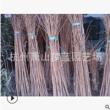 垂丝海棠 土球好 冠幅好 花灌木 地被 球类 花艺 园林绿化 萧山苗