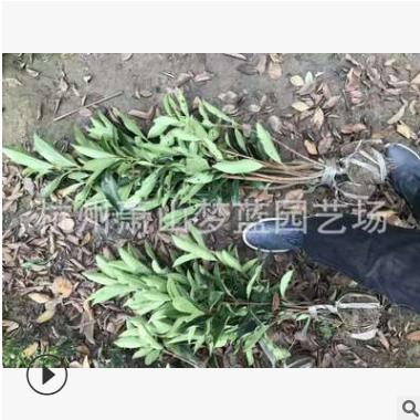 法国冬青 篱笆苗 根系旺 成活率高 起苗就发 萧山 苗圃直销 园林