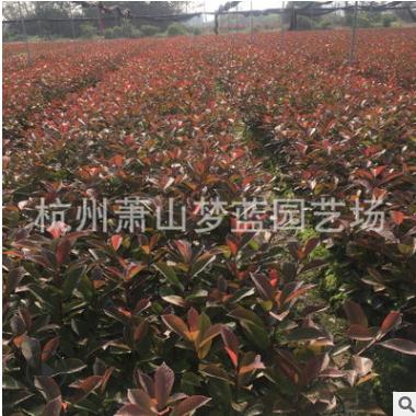 红叶石楠 扦插苗 品种规格 齐全 裸根 成活率 高 萧山 园林 苗木