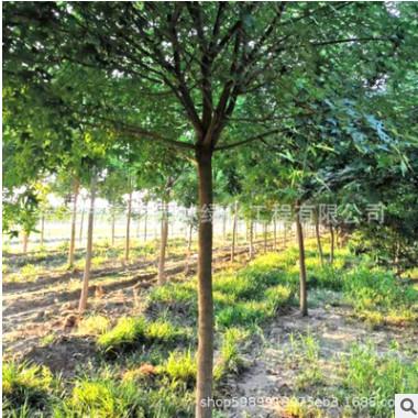 供应各种规格五角枫树苗庭院风景树丛生五角枫苗圃直销价格优惠