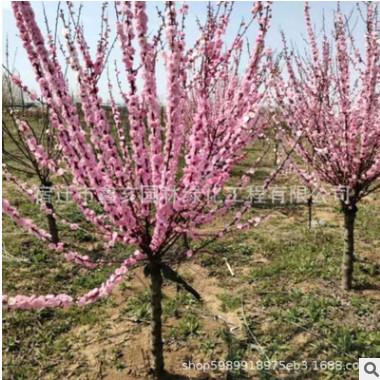 绿化苗木批发 榆叶梅 榆叶梅苗 庭院观花植物 道路供应绿化