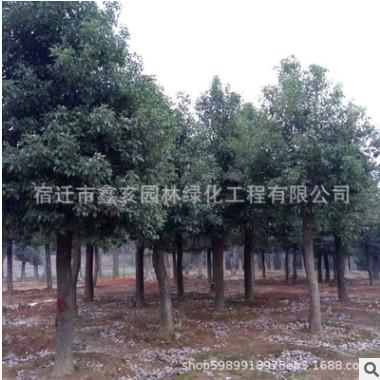 大叶香樟树苗批发绿化树木香樟树规格齐全香樟苗 名贵树苗