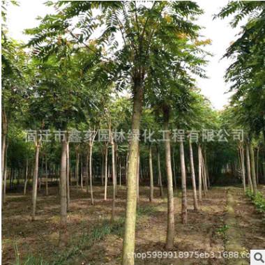 低价供应3-20cm臭椿苗 行道树 规格齐全 基地臭椿绿化苗木批发