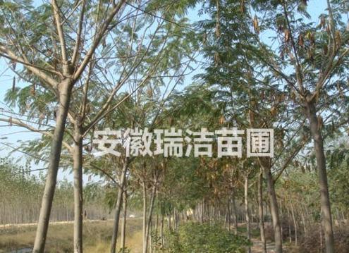 合欢 上海合欢 滁州合欢
