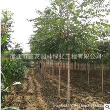 基地批发合欢树 绿化工程 合欢树销售 行道树 规格齐 优质合欢树