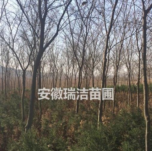 红榉 上海红榉 安徽红榉 滁州红榉 红榉树价格