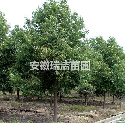 香樟 上海香樟 安徽香樟树 滁州香樟树 香樟价格