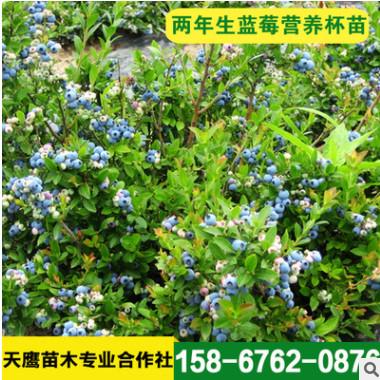 苗圃销售 现挖现卖 蓝莓树苗 蓝莓种苗 量大优惠 欢迎选购