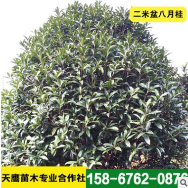 天鹰专卖精品桂花树 造型桂花树 苗木二米盆八月桂 价格优惠