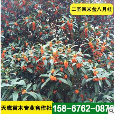 低价销处理二至四米盆八月桂 绿化树桂花树 土地到期 便宜出售