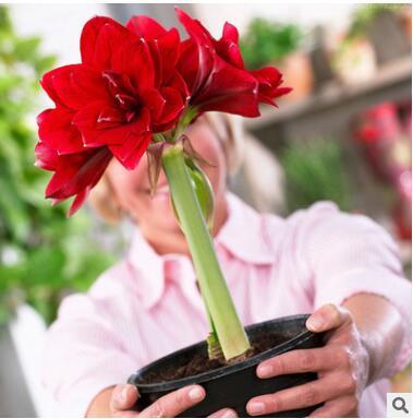 重瓣朱顶红花苗绿植花卉阳台室内水培盆栽朱顶红超大种球