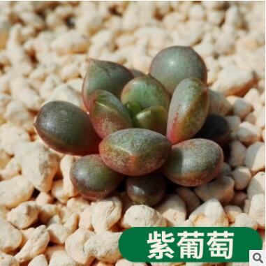 厂家直销多肉植物 紫葡萄 又名葡萄 盆栽绿植盆花组合