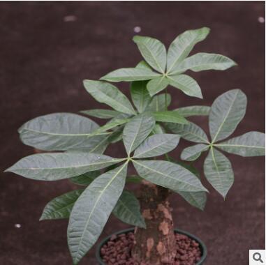 发财树盆栽 室内客中型绿植盆景净化空气植物 观叶植物 防雾霾