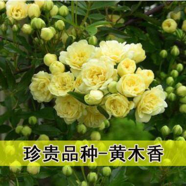 木香花苗庭院爬藤攀援植物浓香七里香十里香黄木香 白色木香花