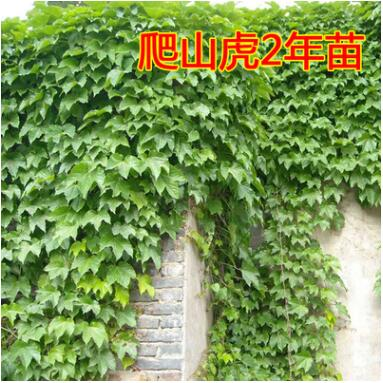 爬山虎 爬山虎苗 五叶地锦 爬墙高手 遮阳降温 2年苗 藤