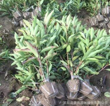 基地直销 法国冬青 珊瑚树 园林绿化 规格齐全 包栽包活 量大优惠