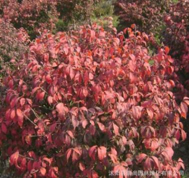 冬红卫矛 彩叶卫矛 变色品种 园林绿化新秀 色泽美丽