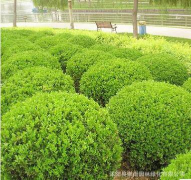 苗圃自产自销 锦熟黄杨 色块苗 绿篱苗 规格齐全