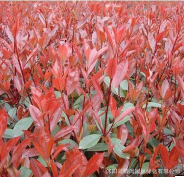 基地批发红叶石楠 工程园林绿化绿篱 小毛球 色彩鲜艳