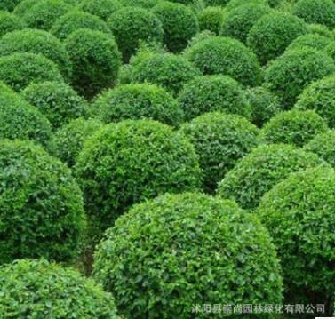 水腊 水腊球 绿篱苗 种子 绿化工程苗 耐寒 产地直销