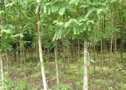 水杉、池杉、落羽杉