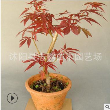 长期供应秋火焰红枫 高杆红枫 嫁接红枫 中国红红枫 量大从优