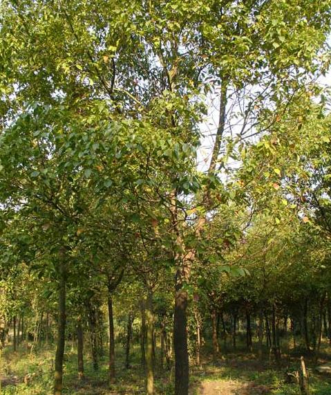 榉树、朴树、香樟