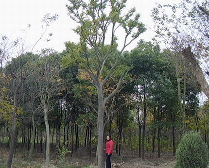 大规格的榉树
