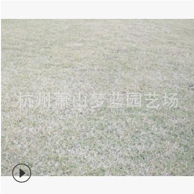 百慕大草坪 土球好 冠幅好 花灌木 地被 球类 色块类 草花类