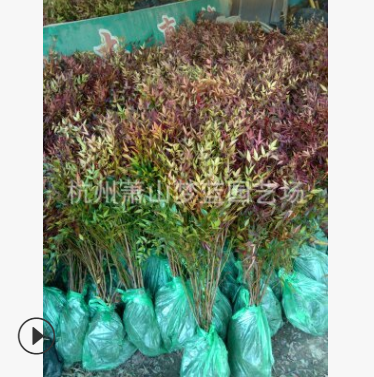 南天竹 根系旺 易成活 精品苗 园林 工程 绿化 常年 供应苗木