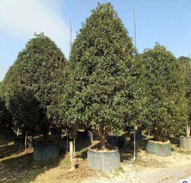 供应桂花树 金桂丹桂四季桂优质桂花树种齐全庭院绿化园林工程