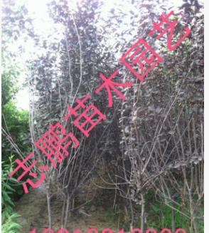 出售绿化苗木 紫叶矮樱 2--4公分 基地直销