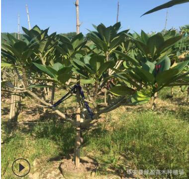 漳州大量供应鸡蛋花树苗 厂家基地批发 绿化工程 绿化苗景观树