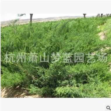 爬地柏 品种 规格 齐全 成活率 高 低价 梦蓝 绿化 苗木 批发