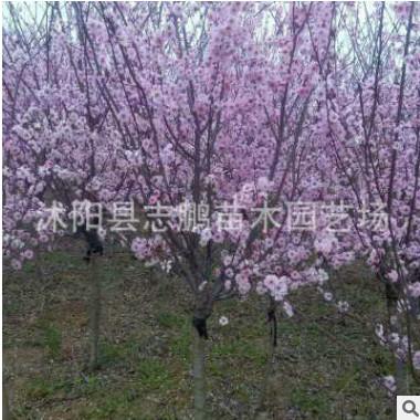 园林绿化苗木价格 8公分美人梅批发 梅花盆景树苗 绿植花卉美人梅