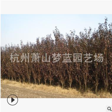 红叶李 紫叶李 土球好 根系旺 精品苗 品种 规格 齐全 萧山苗木