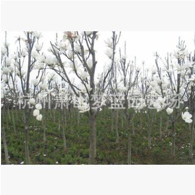 红玉兰 土球好 冠幅好 花灌木 地被 球类 色块类 草花类 乔木园林